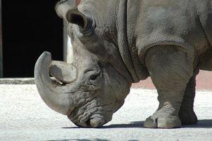 Rinoceronte Zoológico de Lisboa