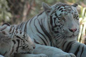 Tigres en el Zoológico de Lisboa